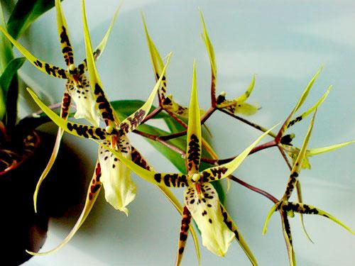 орхидея брассия