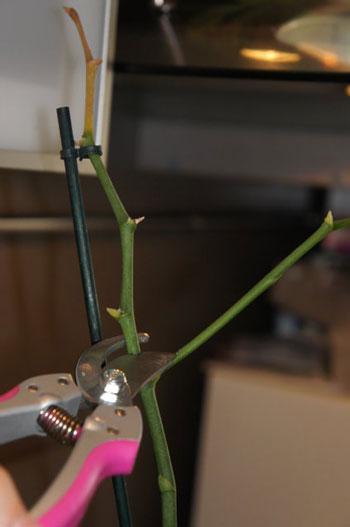 Стрелка у орхидеи засохла