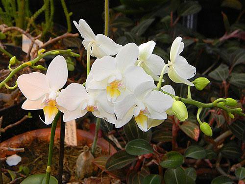 как орхидея выращивание в домашних условиях